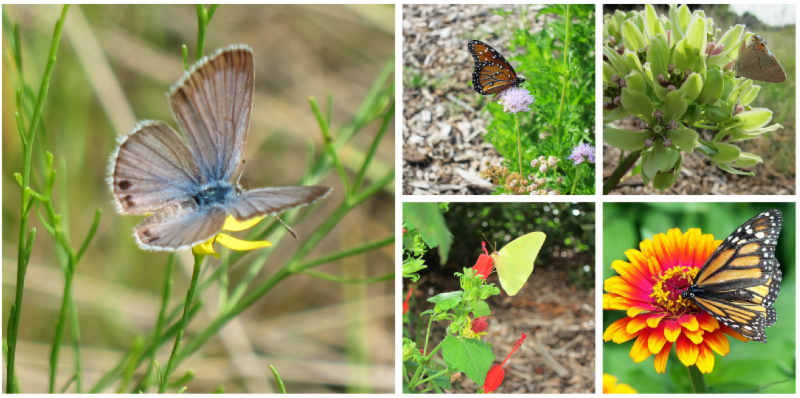 Hosted By The Friends Of Coppell Nature Park, Roger Sanderson, Director Of  Horticulture For Texas Discovery Gardens, Will Discuss The BEC Butterflies  Of ...